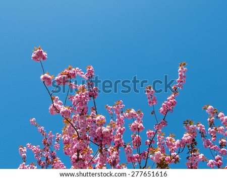 Pink tree blossom and blue sky. - stock photo