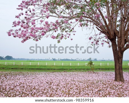 Pink trumpet tree blooming in valentine's day like sweet dream - stock photo