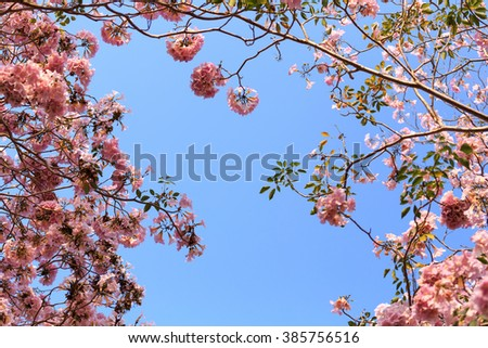 Pink trumpet tree with blue sky.