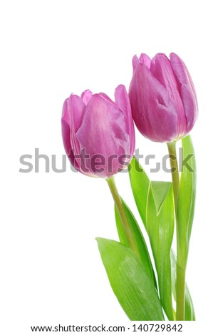 Pink tulip  flowers isolated on white background - stock photo