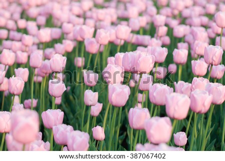 pink tulip on flower-bed