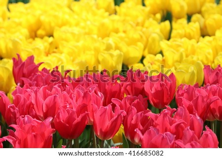 Pink Tulip Pretty Lady with yellow tulips in the background in backlight - stock photo