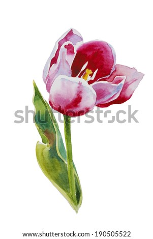 pink tulip watercolor original painting on white background - stock photo
