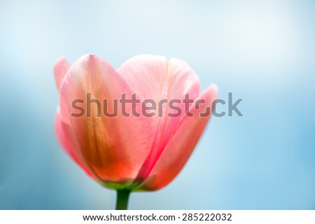 Pink tulips close-up against the blue sky, shallow DOF, with fog.