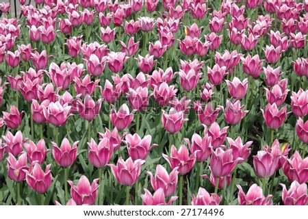 Pink tulips close-up with focus in the middle - stock photo