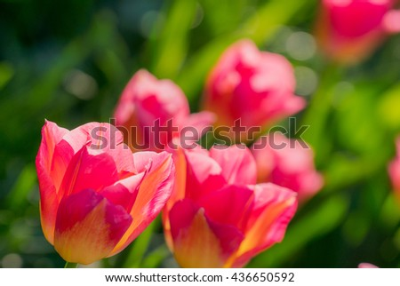 Pink tulips closeup background. Sunny full of light spring day tulips. Contrast, vivid, colorful, vibrant, bright pink tulips photography. Pink heads, green stem, leaves of tulips. Fresh pink tulips - stock photo