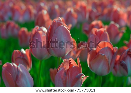 Pink tulips in a field
