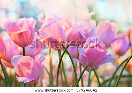 Pink tulips in flower greenhouse on  pastel background - stock photo