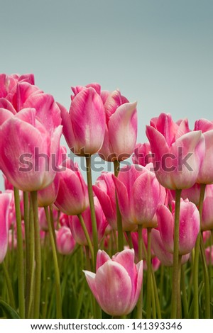 Pink tulips in Skagit Valley