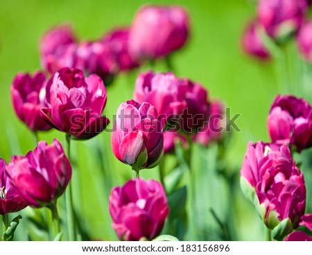 Pink tulips in the foreground and background out of focus