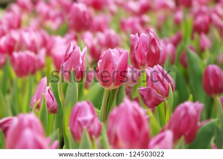 pink tulips in the garden with dof