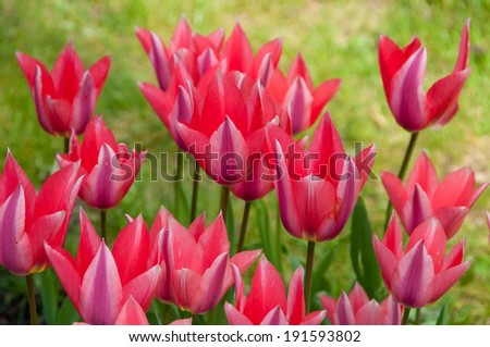 pink tulips in the grass - stock photo