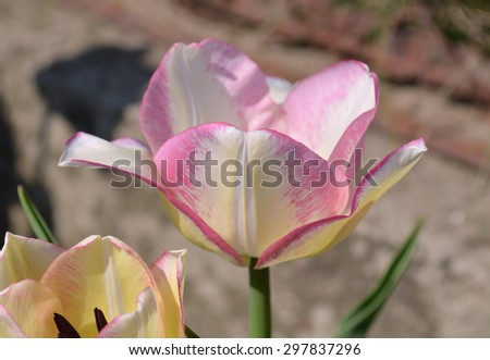 Pink tulips on green  background. Blooming spring tulips - stock photo