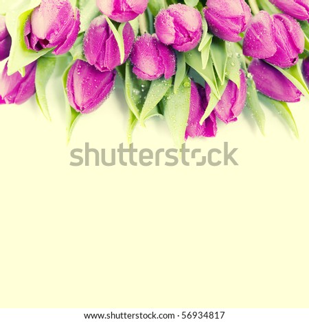 Pink tulips on white background with copyspace