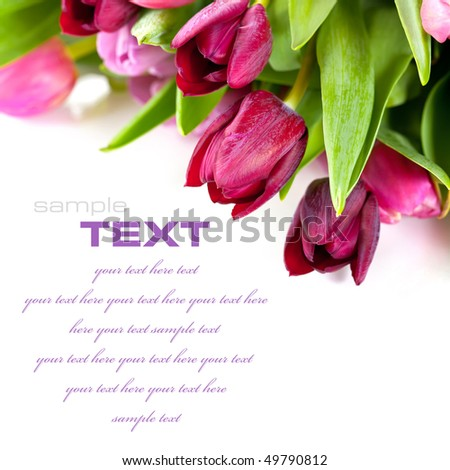 Pink tulips on white background. With sample text.. - stock photo