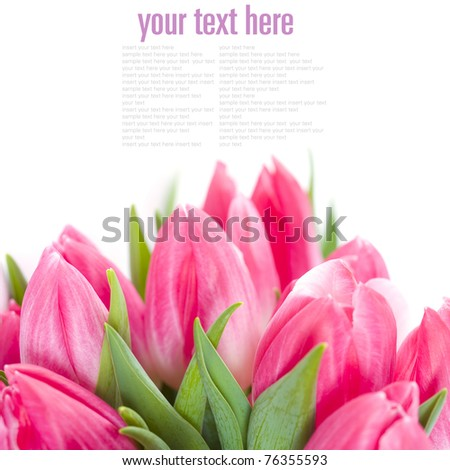 Pink tulips on white background (with sample text) - stock photo
