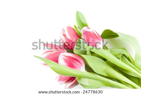 pink tulips on white ground
