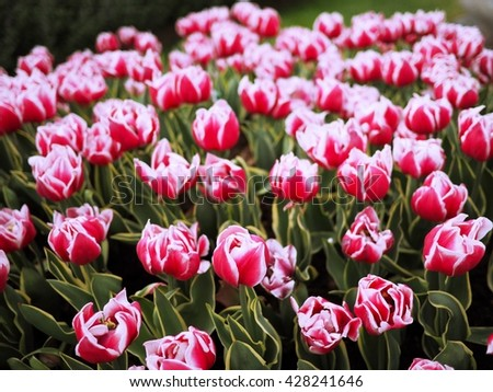 pink tulips with white edge on the petals in a green garden 3 - stock photo