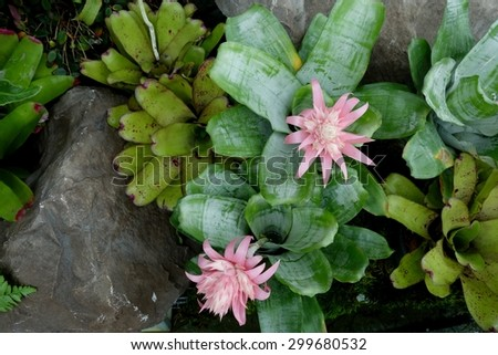 Pink Urn Plant or Silver Vase Plant  - stock photo