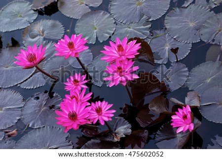 Pink water lilies in a natural pond in Trinidad and Tobago
