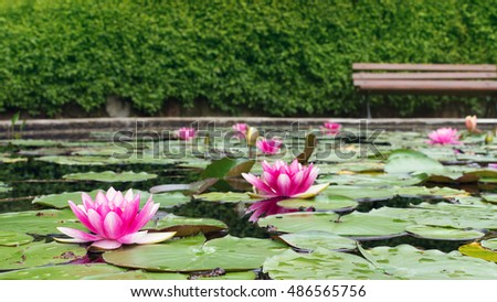 Pink water lilies on a pond in a park, empty bench in the background.