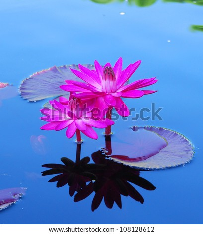 Pink Water Lily - stock photo