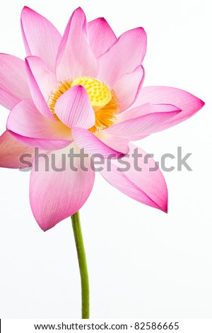 Pink water lily flower (lotus) and white background. The lotus flower (water lily) is national flower for India. Lotus flower is a important symbol in Asian culture. - stock photo