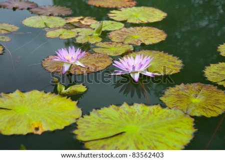 pink water lily in pond - stock photo