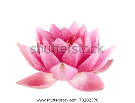 Pink water lily isolated over white background - stock photo