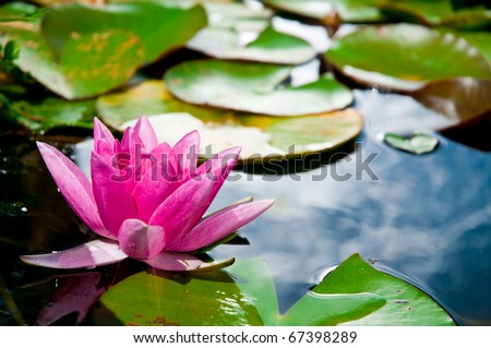 Pink Water Lily, Mecklenburg, Germany - stock photo