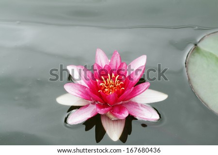 Pink water lily on the lake - stock photo