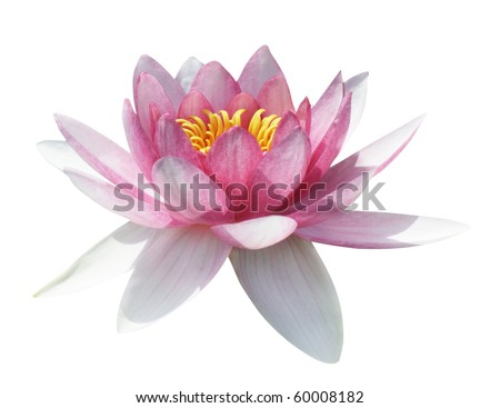 Pink water lily on the white background, isolated with clipping path