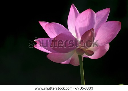 pink water-lily portrait with black background - stock photo
