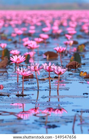 Pink water lily reflection within pool - stock photo