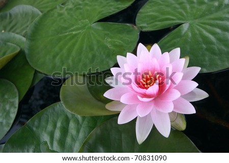 pink water lily with lotus leaf on pond - stock photo