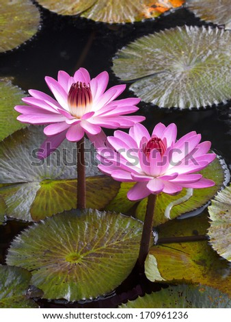 Pink water lotus with large green water leaves - stock photo