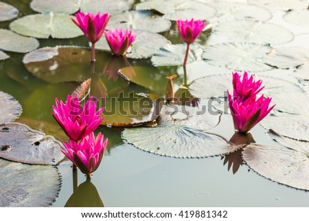 pink waterlily or lotus flower blooming - stock photo
