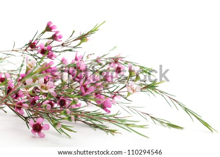 Pink waxflower on white background - stock photo