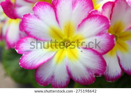 pink,white and yellow primula - stock photo