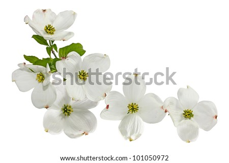 Pink white dogwood blossom spring flower isolated on white - stock photo