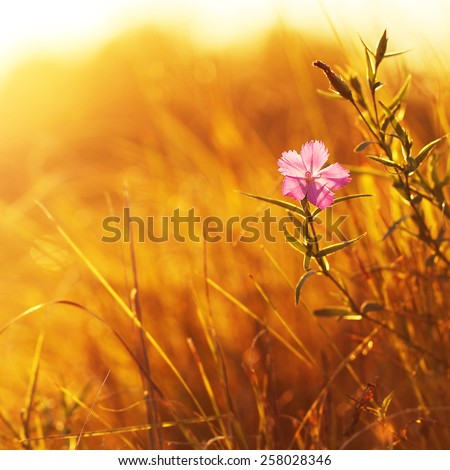 pink wild meadow flower in field on yellow grass background