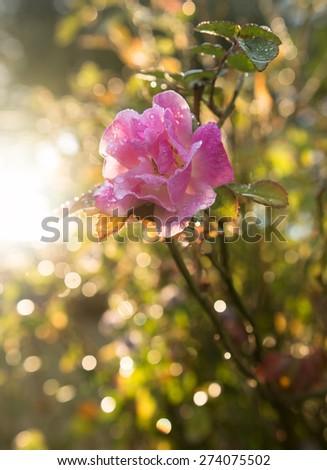 Pink wild rose flower in the morning sunshine - stock photo