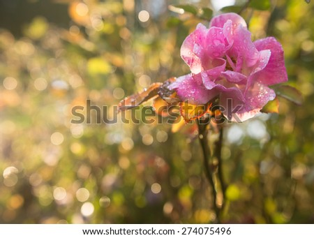 Pink wild rose flower with waterdrops - stock photo