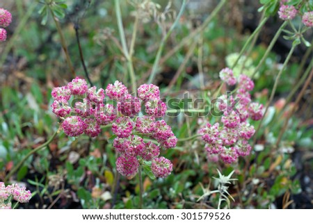 Pink wildflowers of Cushion Buckwheat in Grand Teton National Park in Wyoming - stock photo