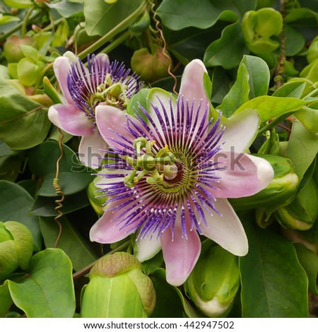 Pink purple passion flower passiflora x stock photo royalty free pink with purple passion flower passiflora x belotti with green leaves background la mightylinksfo