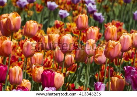 pink yellow tulips flowers. A huge field of yellow roses blooming tulips