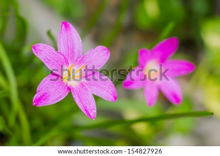pink zephyranthes flowers, rain lily close up - stock photo