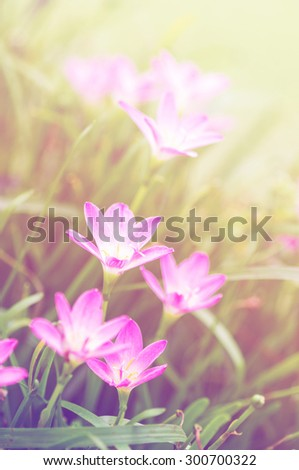 pink zephyranthes flowers. Rain Lily. color filter.