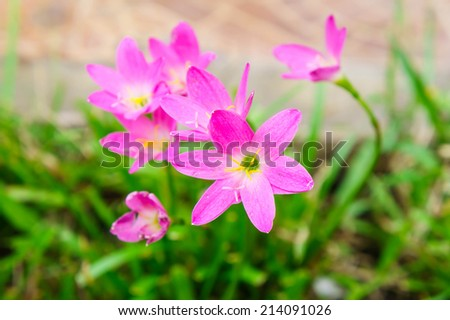 Pink zephyranthes lily flower rain lily flower - stock photo