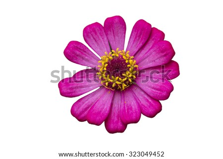 pink zinnia flower isolated on white - stock photo